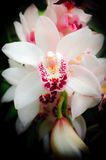 White Orchid. Beautiful white orchids close up Royalty Free Stock Photo