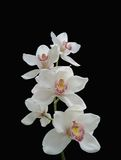 White orchid. Photo of white orchids (isolated on black Royalty Free Stock Images