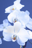 White orchid. S on a blue background Royalty Free Stock Photography