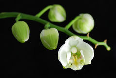 White orchid Royalty Free Stock Images