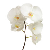 White orchid. Isolated on white stock photos