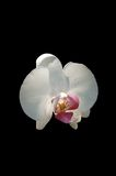 White orchid 2. A isolated picture of a white orchid on a black background Stock Image