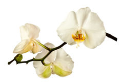 White orchid. A tender white orchid. All isolated on white background stock photos