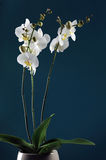 White orchid Royalty Free Stock Photos