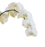 White orchid. Isolated on white BG stock photo