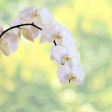 White orchid. Isolated on nature BG stock photo