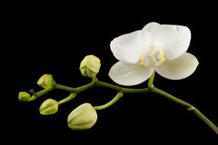 White orchid. And green buds with a black background Stock Photography