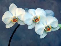 White Orchid. In bloom with background Stock Images