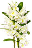 White orchid. Stock Photography