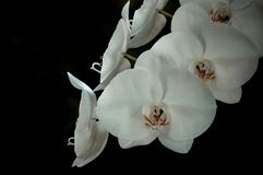 White Orchid. A Bunch of White Orchid Stock Photography