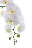White orchid. Isolated on white background Royalty Free Stock Photos