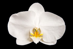 White orchid. One beautiful white orchid over black background Royalty Free Stock Photo