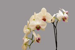 White orchid. On grey background Royalty Free Stock Images
