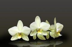 White orchid. White Phalaenopsis orchid on black background Royalty Free Stock Image