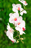 White orchid. Orchid on green blurred background Stock Photos