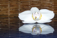White orchid. Photo of white orchid on blue glas in front of rattan background Stock Image