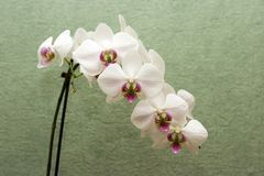 White orchid. On green background Stock Image