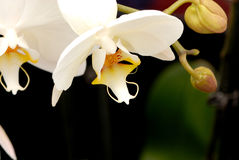White Orchid. A very nice flower named orchid (nature and discover Royalty Free Stock Images