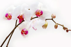 White orchid. Isolated on white background Stock Photos