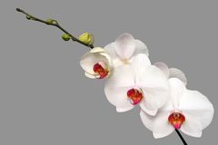 White orchid. Isolated on gray background Royalty Free Stock Photos
