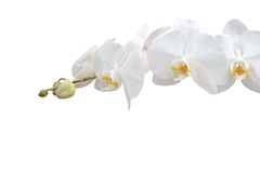 White orchid. Orchid isolated on white background Royalty Free Stock Images