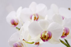 White Orchid. Phalaenopsis white orchid close up on white background Stock Image