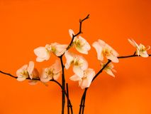 White orchid. With colorful background Royalty Free Stock Photos