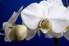White Orchid. A close up of an orchid flower; Phalaenopsis Amabilis royalty free stock photo