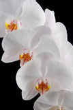 White orchid. White moon orchid blooms (Phalaenopsis amabilis) with drops of water isolated on black Royalty Free Stock Photography