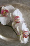 White orchid. Decorative white orchid on scale Royalty Free Stock Images