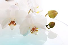 White orchid. Close up of the white orchid in blue water Royalty Free Stock Photos