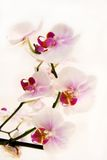 White orchid. Branch on white background royalty free stock photography