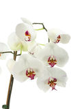 White orchid. Stock Image