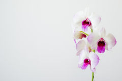 White orchid. On the clean background Stock Photography