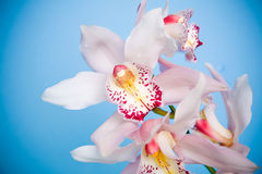 White orchid. Closeup of a purple orchid isolated on white Stock Photography