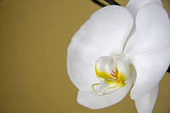 White orchid. Close up of a beautiful white orchid over a tan colored background Royalty Free Stock Images