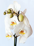 White orchid against light blue background Stock Images