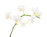 White orchid arrangement centerpiece isolated on white Stock Image