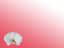 White Orchid Background Royalty Free Stock Photo