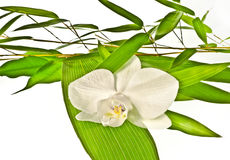 White orchid and bamboo leaves Stock Photos