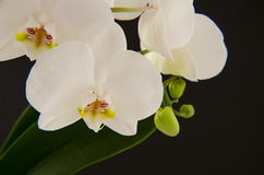White orchid. Beautiful white orchid in black background Royalty Free Stock Photos