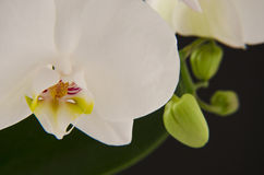 White orchid. Beautiful white orchid in black background Stock Images