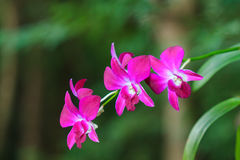 White orchid beautiful. Beautiful orchid white in thailand royalty free stock images