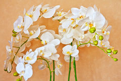 White orchid. Beauty white orchid flower at orange back Stock Photo
