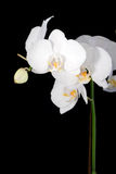 White orchid on black Royalty Free Stock Image