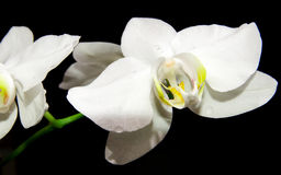 White Orchid on black background. Close up of white orchid on black background royalty free stock photo