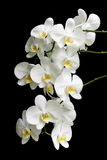 White orchid on a black background Stock Photography