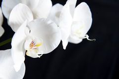 White orchid. On a black background Stock Images
