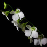 White orchid. On a black background Stock Image