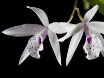 White orchid on black background.  Stock Images